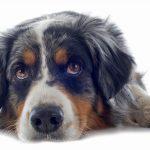Hunde vom Züchter kosten in der Regel deutlich mehr als Hunde aus dem Tierheim. Foto: djd/AGILA/Cynoclub - Fotolia
